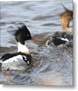 Red-breasted-merganser-ducks Metal Print