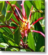 Red Spider Flower Close Up Metal Print