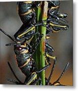 Romalea Microptera Hierarchy Metal Print