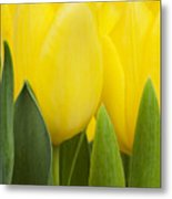 Spring Yellow Tulips Metal Print