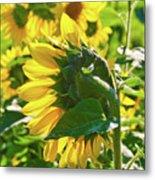 Sunflower 7249a Metal Print