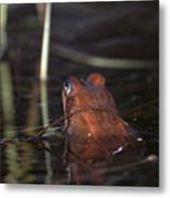 The Common Frog 2 Metal Print