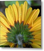 Water Drops On Gerbera Daisy Metal Print