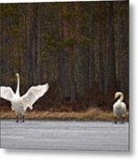 Whooper Swans 2 Metal Print
