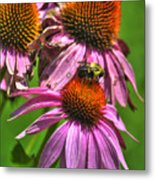 01 Bee And Echinacea Metal Print