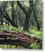1b6338 Oak Forest On Sonoma Mountain Ca Metal Print