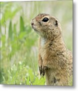 A European Ground Squirrel Standing In A Meadow In Spring Metal Print