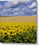 A Field Of Sunflowers . Auvergne. France Metal Print