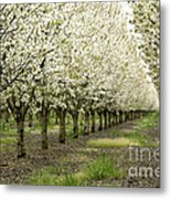 A Flowering Cherry Orchard Metal Print