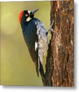 Acorn Woodpecker Metal Print