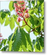 Aesculus X Carnea, Or Red Horse-chestnut Flower Metal Print