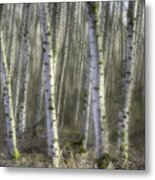 Afternoon Birch Trees Metal Print
