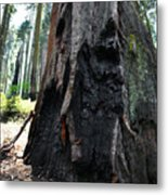 Alta Vista Giant Sequoia Metal Print