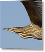 American Bittern Flies By Metal Print