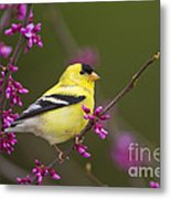 American Goldfinch In Redbud Metal Print