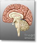 Anatomy Of The Brain, Illustration Metal Print