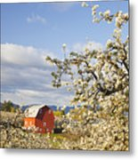 Apple Blossom Trees And A Red Barn In Metal Print
