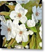 Apple Blossoms 0936 Metal Print