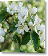 Apple Flowers Metal Print