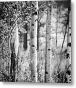 Aspen Trees In Black And White Metal Print