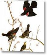 Audubon: Blackbird, (1827) Metal Print
