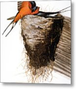 Audubon: Swallow Metal Print