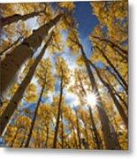 Autumn Aspens Metal Print