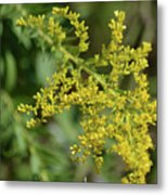 Autumn Goldenrod  Metal Print