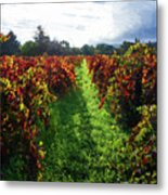Autumn Vineyard In The Morning  Metal Print