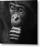 Baby Bonobo Portrait Metal Print
