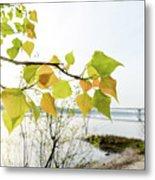 Backlit Poplar Leaves Metal Print