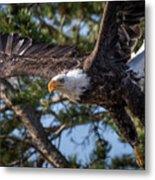 Bald Eagle Launch Metal Print
