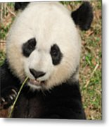 Bamboo Sticking Out Of The Mouth Of A Giant Panda Bear Metal Print