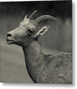 Big Horn Sheep Metal Print by Barbara Schultheis