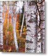 Birch Trees Fall Scenery Metal Print