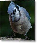Birds From Heaven - Bluejay Metal Print