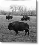 Bison In Black And White Metal Print