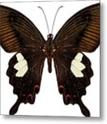Black And Brown Butterfly Species Papilio Nephelus Metal Print