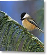 Black-capped Chickadee Metal Print by Tony Beck