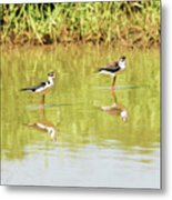 Black Necked Stilt, In The Pond In The Galapagos Metal Print