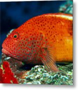 Blackside Hawkfish Metal Print