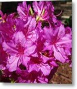 Blooming Azaleas Metal Print