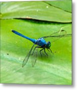 Blue Dragonfly On Lily Pad Metal Print