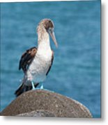 Blue-footed Booby On Rock Metal Print