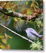 Blue-gray Gnatcatcher In Conifer Metal Print