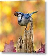 Blue Jay With Acorn Metal Print