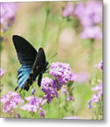 Blue Swallowtail Butterfly  Metal Print