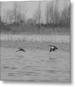 Blue Wing Teal Pair Metal Print