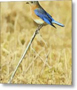 Bluebird In February Metal Print
