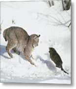 Bobcat Lynx Rufus Hunting Muskrat Metal Print by Michael Quinton